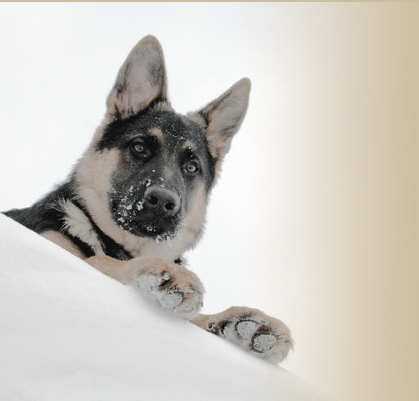 Grunberg Shepherds • German Shepherd Breeders • Asheville, North